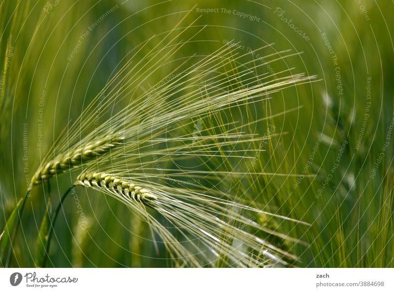 an ear of corn for every ear of corn Wheat Grain Field Barley Ear of corn spike Cornfield Nutrition Agriculture Nature Grain field Agricultural crop Plant