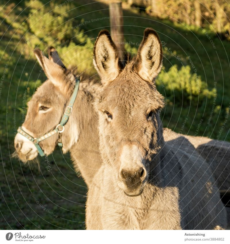 two donkeys 2 Donkey Animal animals Couple Pelt Head ears eyes Dog-ear look Looking Farm animal Pack animal Nature Muzzle Exterior shot Brown Deserted