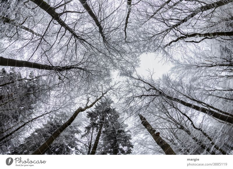 View into snow-covered tree tops Snow Tree Cold Winter Branch Ice Sky huge Frost Nature Exterior shot Deserted White Environment Twig Hoar frost Skyward Forest