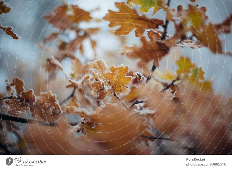 #A0# Frozen autumn leaves on tree after cold spell Autumn Autumnal Autumn leaves Autumnal colours Automn wood Exterior shot Nature Leaf Tree Plant Winter