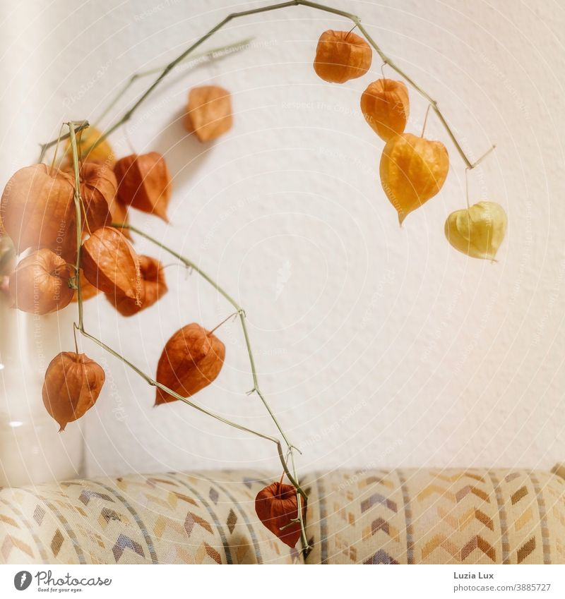 Autumnal still life: Lampion flowers in a glass vase, over a sitting area with old-fashioned cover Chinese lantern flower Lampion Flowers Vase domestic