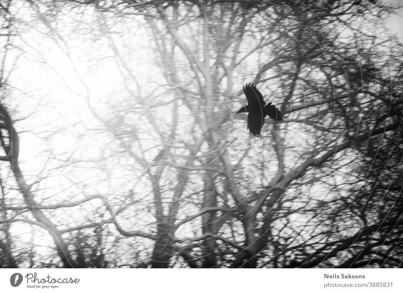 silhouette of crow flying near woods Animal atmosphere autumn avian background beautiful biology bird black blue bottom branch branches clouds color country