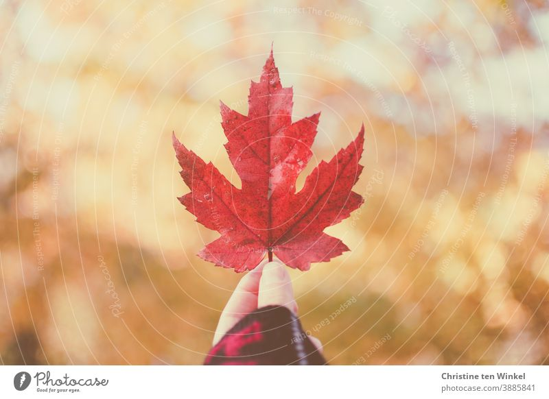 Hand holding up red autumnal maple leaf...  background with speckled sunlight and bokeh Maple leaf Red Leaf Maple tree Uphold Indicate Autumn speckled light