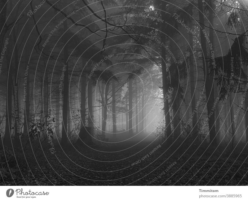 November forest with fog and some sunrays Forest Fog Sunbeam Dark Light Autumn Winter Cold off somber Moody Nature Tree Loneliness Black & white photo