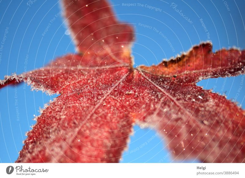 frosty - red colored leaf of the amber tree with ice crystals in front of a blue sky Leaf Frost Ice Hoar frost chill Autumn Winter Freeze Close-up macro Sky