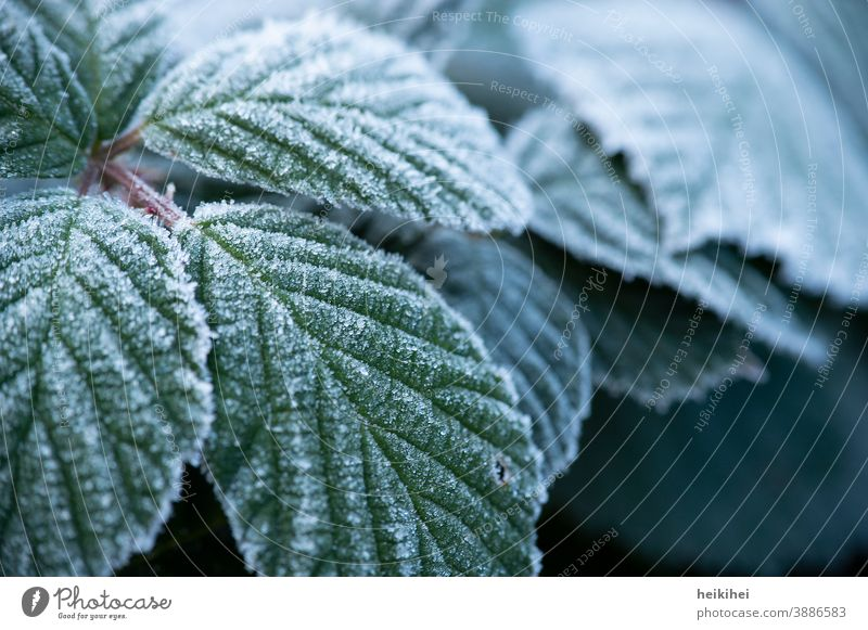 Leaves covered with frost / ice Leaf Green Plant Ice Frozen Ice crystal Close-up Frost Winter Snow Freeze Cold Hoar frost White Nature Exterior shot
