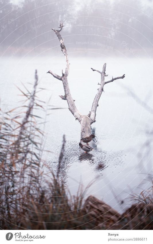 Ducks in the fog at the lake ducks Fog Lake Winter Tree trunk To go for a walk Nature Water Exterior shot Cold Landscape Deserted Frost Lakeside Environment