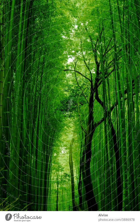 green bamboo path nature forest background japan asia japanese landmark kyoto tree natural garden wood zen plant environment growth asian leaf grove famous