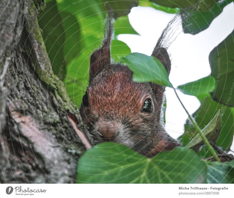 Hidden observer in the tree Squirrel sciurus vulgaris Animal face Head Eyes Nose Ear Muzzle Pelt Rodent Wild animal Nature Tree Leaf Curiosity Observe Looking