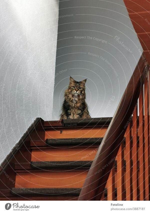 "That look... ""You wouldn't dare walk out that door!"" - or a Maine Coon cat sits on the top step of a staircase and looks grimly into the camera Cat"