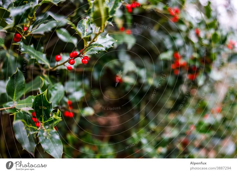 holly Ilex Holly leaf Plant Colour photo Winter Berries Close-up Nature Decoration Christmas & Advent Feasts & Celebrations Leaf Green Seasons December Red