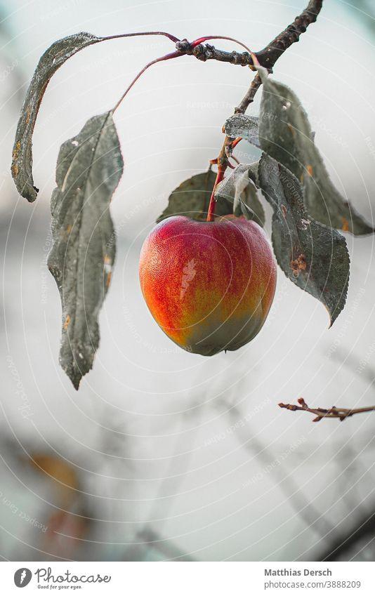 winter apple Apple Apple tree Apple harvest Winter Frost White Cold cold season fruit Fruit trees Fruit garden Nature