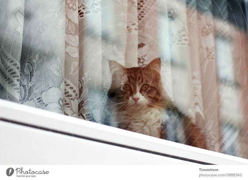 Cat looks outside and waits Window Window pane Glass Drape Curtain Wait sad Deserted Animal Animal face Reflection Pet 1