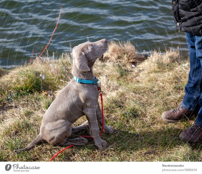 Weimaraner puppy at the lake looks up attentively Puppy Dog Pet Animal Brown pretty Hound portrait Purebred Hunting Language Grass youthful joyfully Mammal Romp