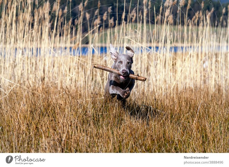 Weimaraner puppy with sticks romps and plays in the high grass Puppy Dog Pet Animal young dog Water pretty Hound portrait Purebred Hunting Forest Grass youthful