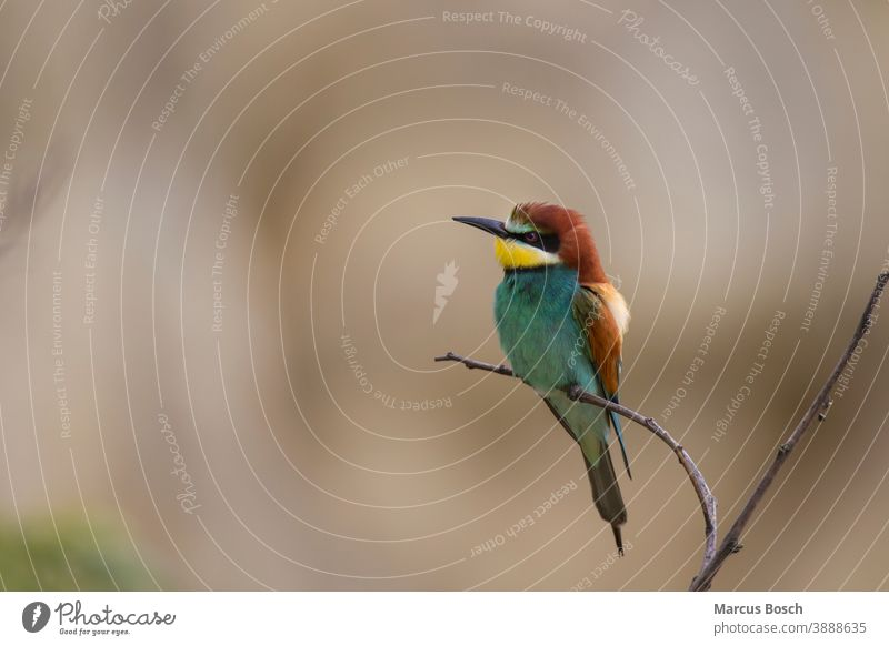 Bee-eater, Merops apiaster, European bee-eater Animal Nature Multicoloured Exotic Beak animal world Bird Wild Apiaster Bee eater birds Migratory bird