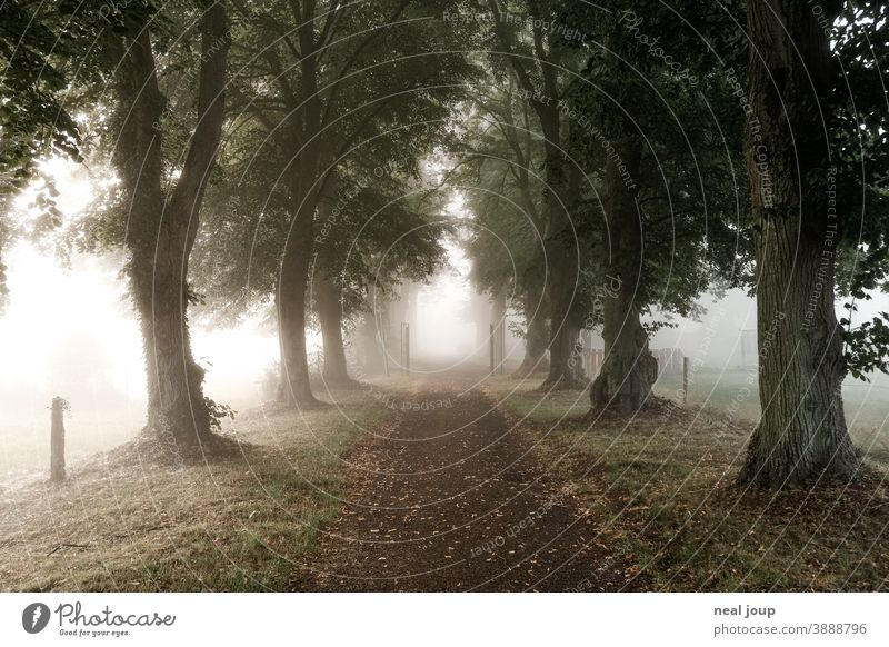Avenue between rows of trees in the morning mist Nature awakening early Lanes & trails Tree Perspective Direction Fog Soft Diffuse poetry Autumn Calm