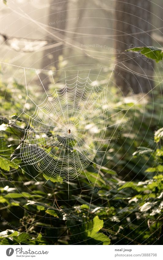 Cobweb in the forest at dawn Nature Environment Animal Spider Cross spider Spider's web structure Delicate Trap Wait strategy Forest leaves Morning dew drops