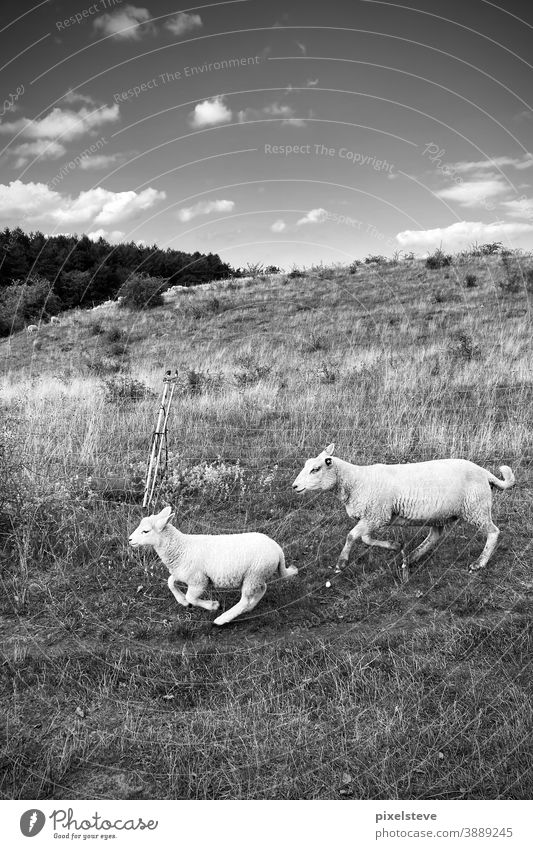 Two running sheep Sheep Animal Group of animals Lamb's wool Grass Wool Agriculture Landscape Pelt Willow tree Farm Animal portrait Meadow Farm animal