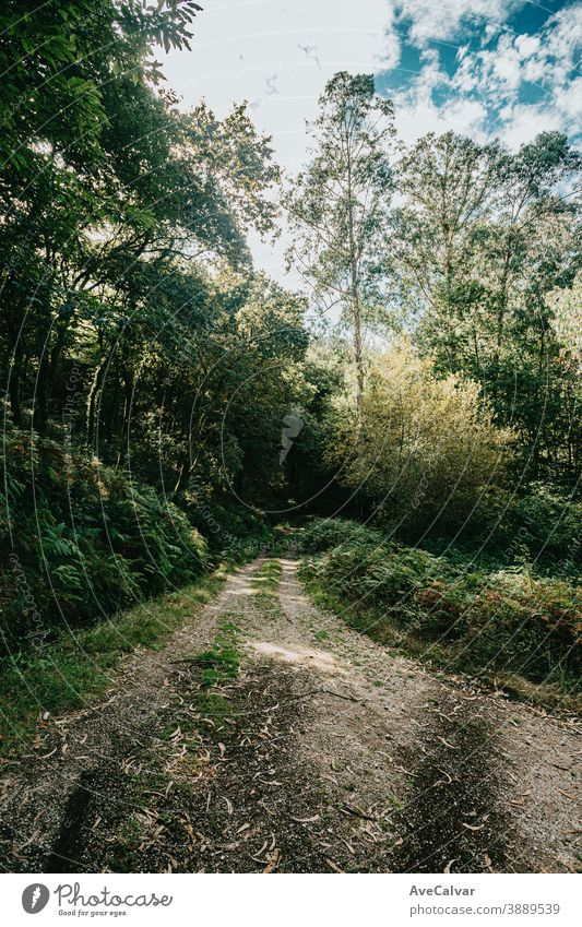 Bright path in the middle of the forest with lot of trees sunlight green nature summer sunshine landscape environment autumn countryside horizontal way park