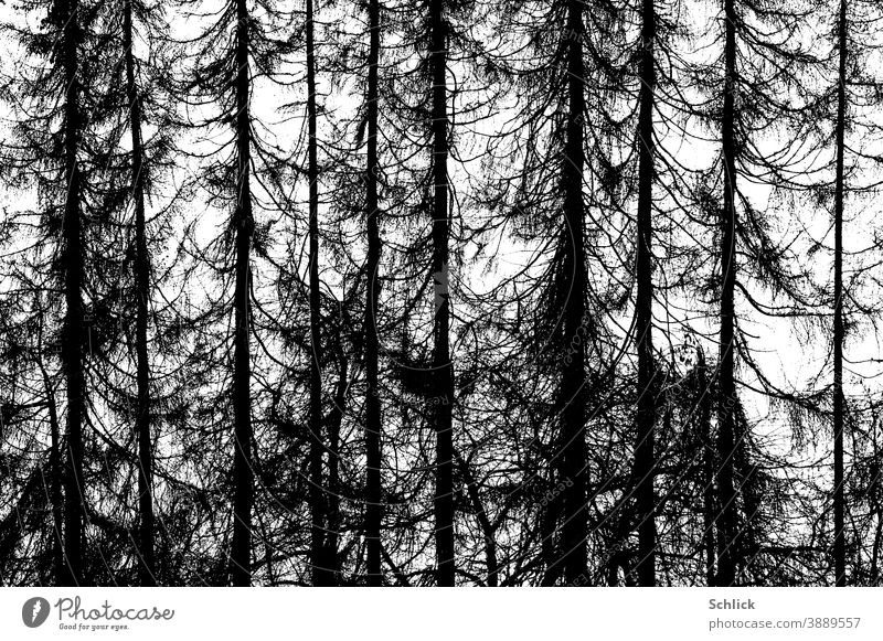 Dead dead larch forest as photograph trees Larch black-and-white photo graphic high contrasts Forest Nature Environment Climate change Tree Landscape