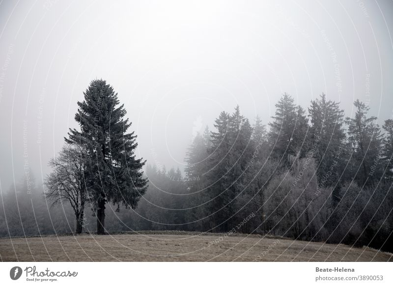 Dull times not only in the misty Black Forest ... late autumn Winter Fog fir tree Tree Sky Landscape Exterior shot Morning fog Dreary November mood