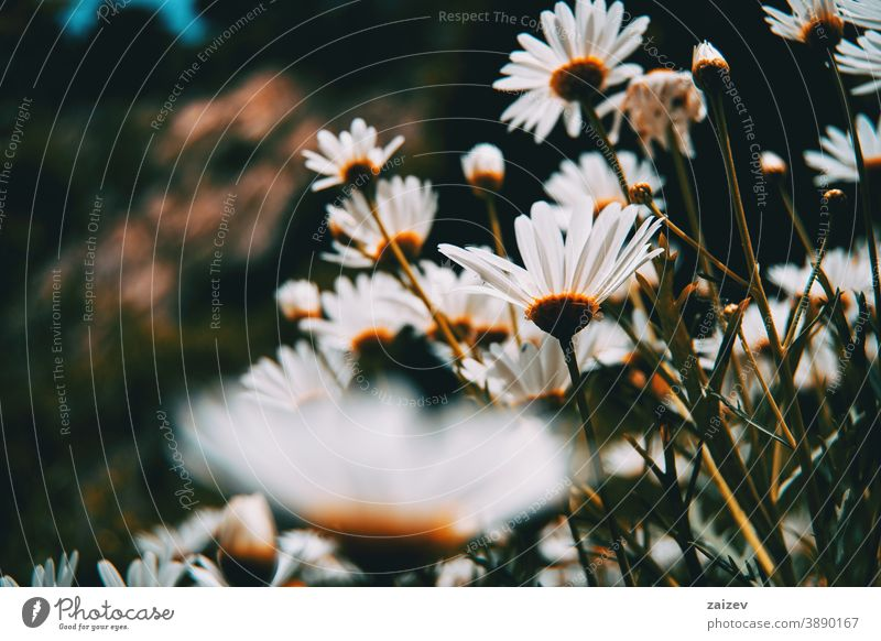 many white daisy flowers seen from below argyranthemum frutescens paris marguerite field perspective without people outdoor close copy space bottom left