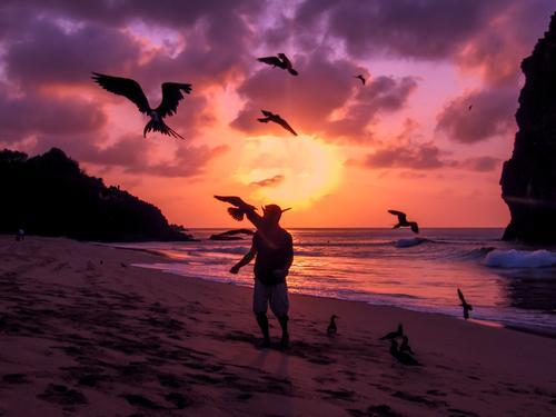 Flying Frigate birds being fed Fernando de Noronha, Brazil fernando de noronha brazil sunset frigate beach silhouette south america clouds feeding flight fly