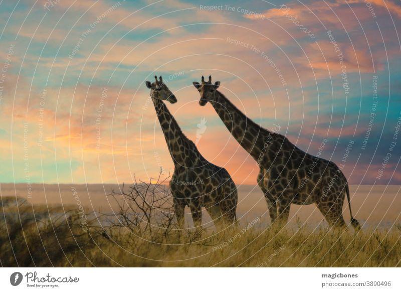 Two giraffes in Etosha National Park, Namibia namibia etosha safari africa etosha national park savanna african wild animal big camelopardalis desert giraffa