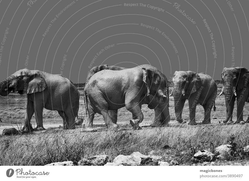 African elephants in Etosha national Park, Namibia etosha namibia safari national park africa herd wildlife black and white african walking desert mammal animal