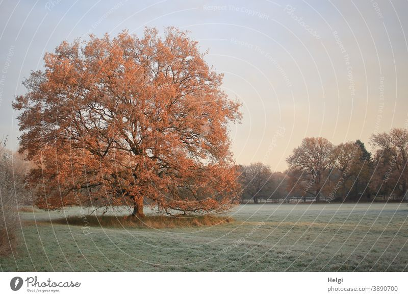 stately oak tree stands on a frosty meadow and is illuminated by the morning sun Tree Oak tree Meadow Frost chill Morning morning mood in the morning Hoar frost