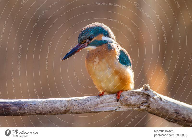 Eisvogel, Alcedo atthis, common kingfisher Common Kingfisher Edelstein Eisvoegel Eurasian Kingfisher Juwel River Kingfisher Voegel ansitzen ast auge blau