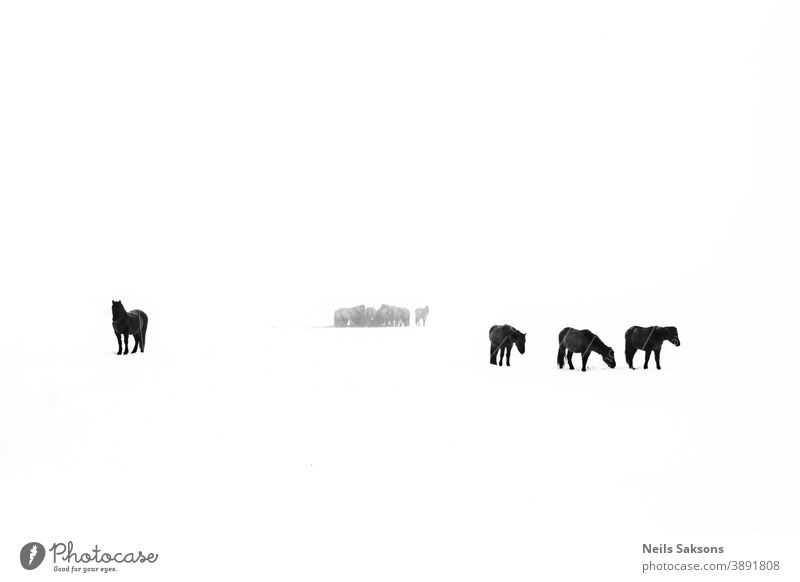 herd of horses in white field in winter equine Silhouette silhouettes equestrian animal nature pet care ranch country countryside love freedom wild breed ride