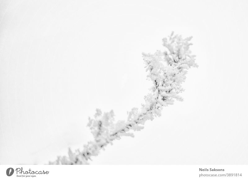 Branches in hoarfrost and snow in the winter February background blur bokeh botany branch bright cold cool crystal December environment fall field flora forest