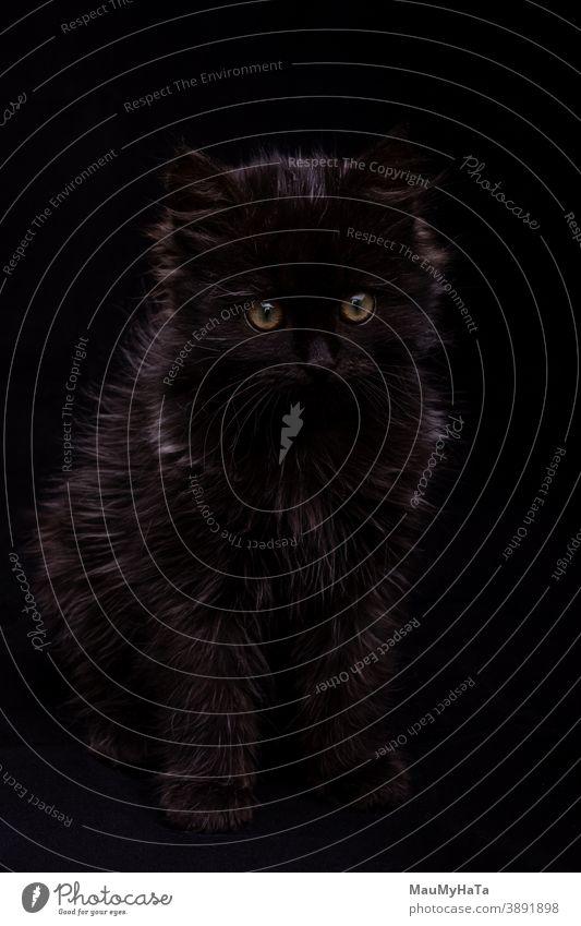 little black kitten on a black background in the studio cat animal portrait fur eyes fluff