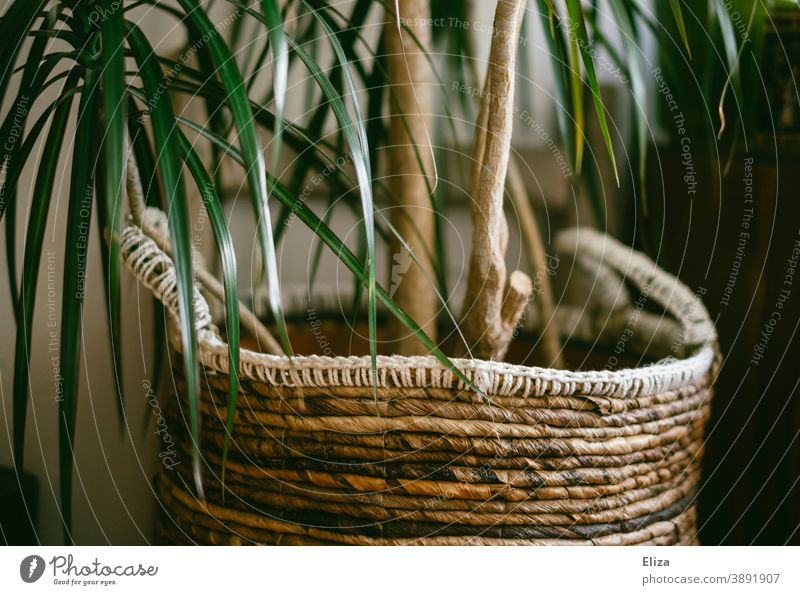 An indoor palm tree with a basket as a planter Houseplant Plant Plant basket Basket Green at home Foliage plant Pot plant