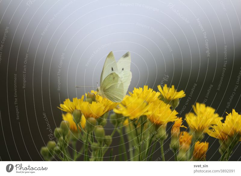 Elegant white butterfly and yellow wildflowers on autumn meadow in evening against the dark sky. The butterfly drinks nectar from a flower. Pieris brassicae or Cabbage White or Great white butterfly.
