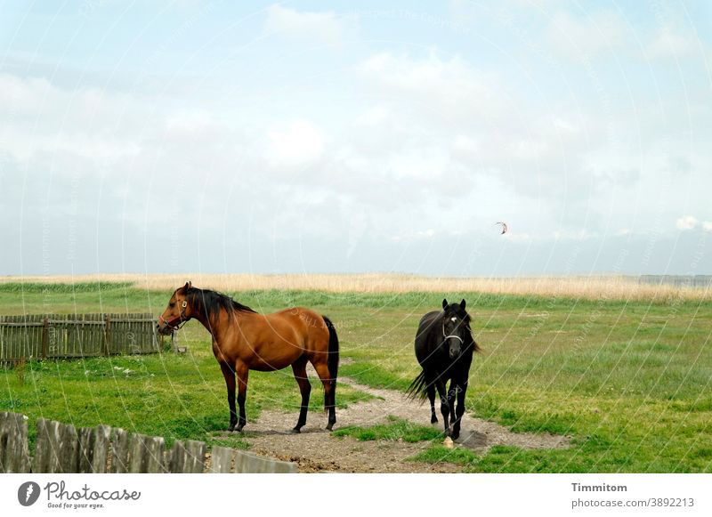 Horses with little interest in kitesurfing horses Meadow path Fence Nature Sky Clouds Kitesurfing Landscape Green Blue Animal Grass Horizon North Sea