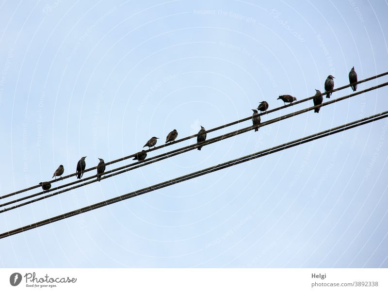 Star array - many starlings sit on power lines in front of a blue sky Bird Starling Summer obliquely Sky Blue Black Many Animal Colour photo Exterior shot