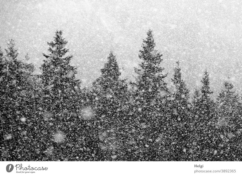 Snow flurry - it is snowing in the fir forest snowflakes snow flurries Winter chill Fir tree Tree Spruce Cold Exterior shot Nature Forest Frost Deserted