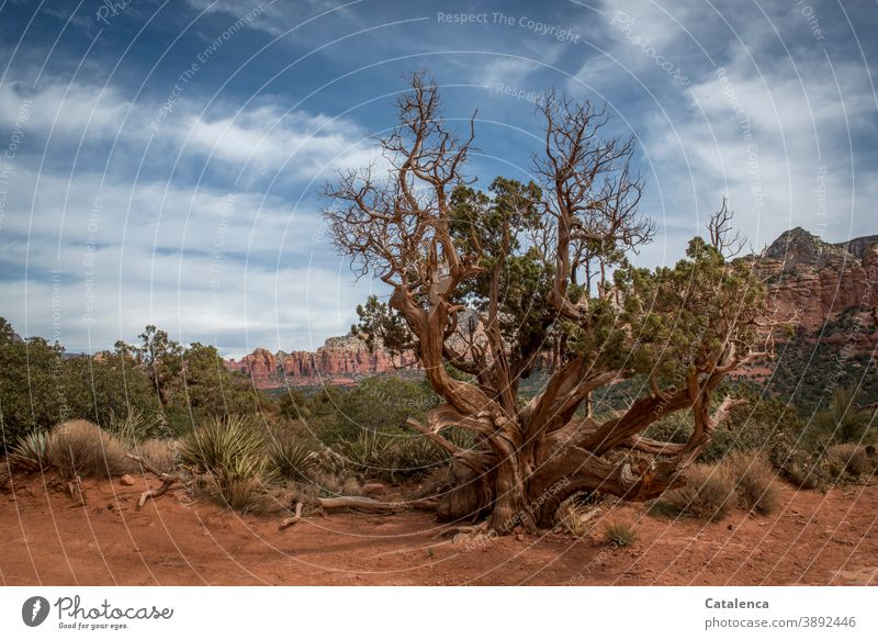 An old tree grows in the red desert landscape between grasses and bushes, in the background a mountain range Landscape Nature Desert Sand stones Plant Tree
