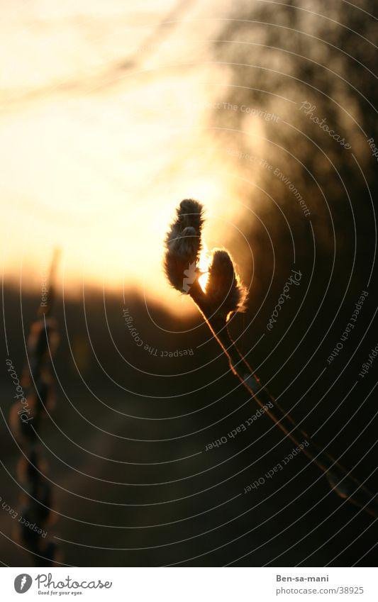 solar eclipse Evening sun Sunset Back-light Catkin Warm colour Dark Closing time late winter Warmth Awakening life