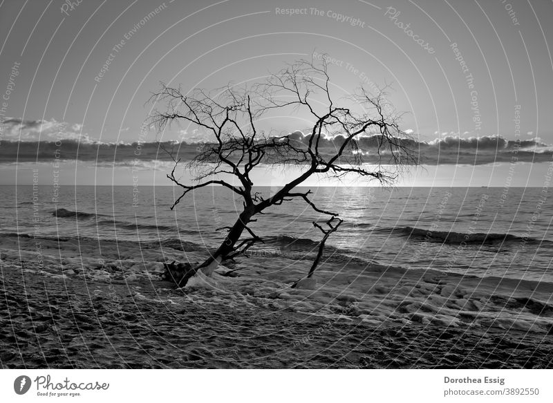 Bald single tree at sunset Tree without leaves Ocean Landscape Baltic coast segregated Sunset Nature Winter Snow Cold Frost Deserted Exterior shot Day