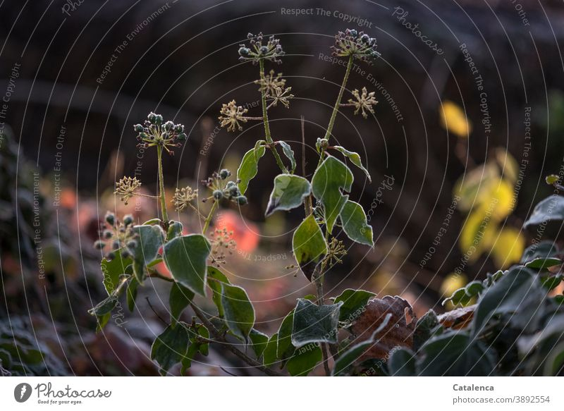 A delicate frosty edge has formed around the leaves and flowers of the ivy on this cold winter morning Nature flora Ivy Leaf ivy vine Seed head Garden Winter
