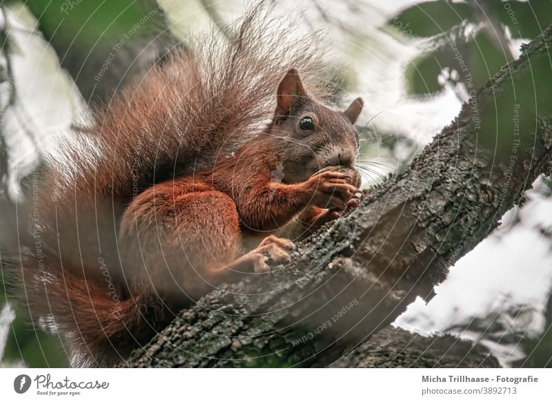 Eating squirrel in a tree Squirrel sciurus vulgaris Animal face Head Eyes Nose Ear Muzzle Tails Claw Pelt Rodent Wild animal Tree Leaf Near Cute To feed nibble