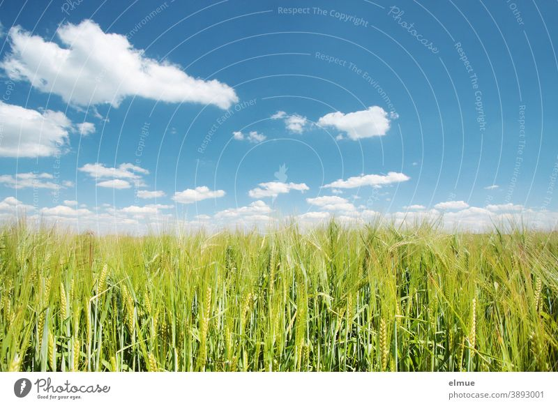 green barley field in the sunshine with fair weather clouds in the blue sky / malting barley / agriculture Barley Grain Immature Deco Clouds Agriculture