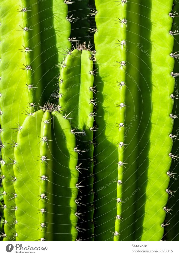Green background by plump stems and spiky spines of Cereus Peruvianus cactus green succulent plant fresh thorn tree garden closeup nature natural growth desert