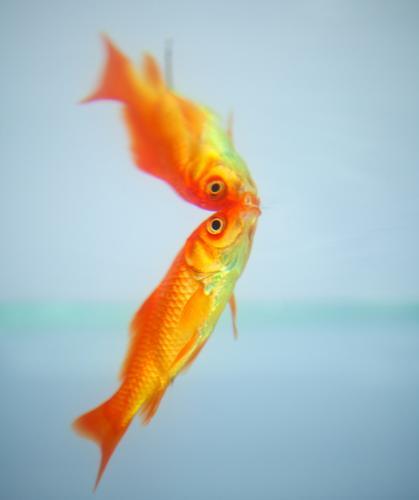 Goldfish reflected in the water goldfish red fish underwater reflection animal aquarium aquatic background orange colorful exotic exploration explore marine