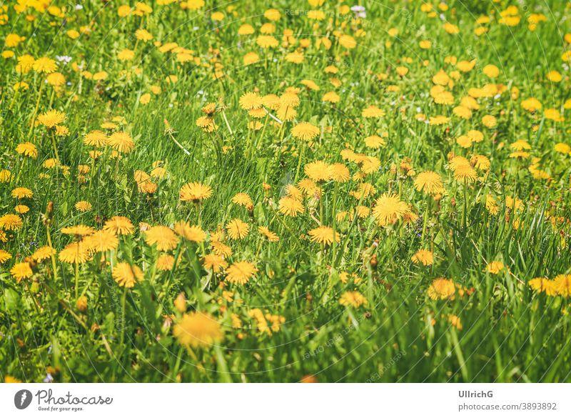 Meadow of flowering dandelion in spring. meadow blossom bloom plant springtime season seasonal pasture lawn grass grassland rural countryside field nature