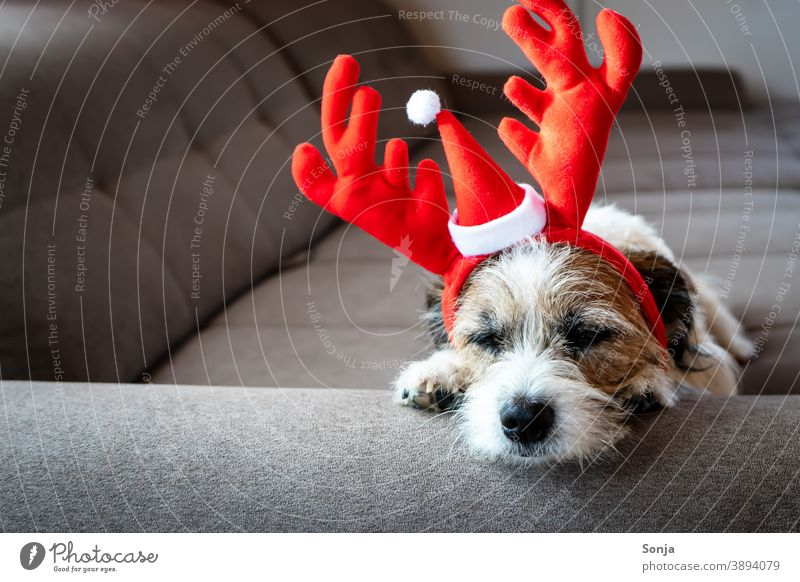 Small terrier dog with red reindeer antlers sleeping on a sofa Dog Terrier Christmas Reindeer antlers Head Sleep couch tired Humor Pet Cute Animal Funny